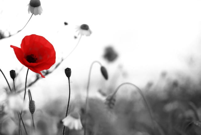 All_about_the_red_poppy